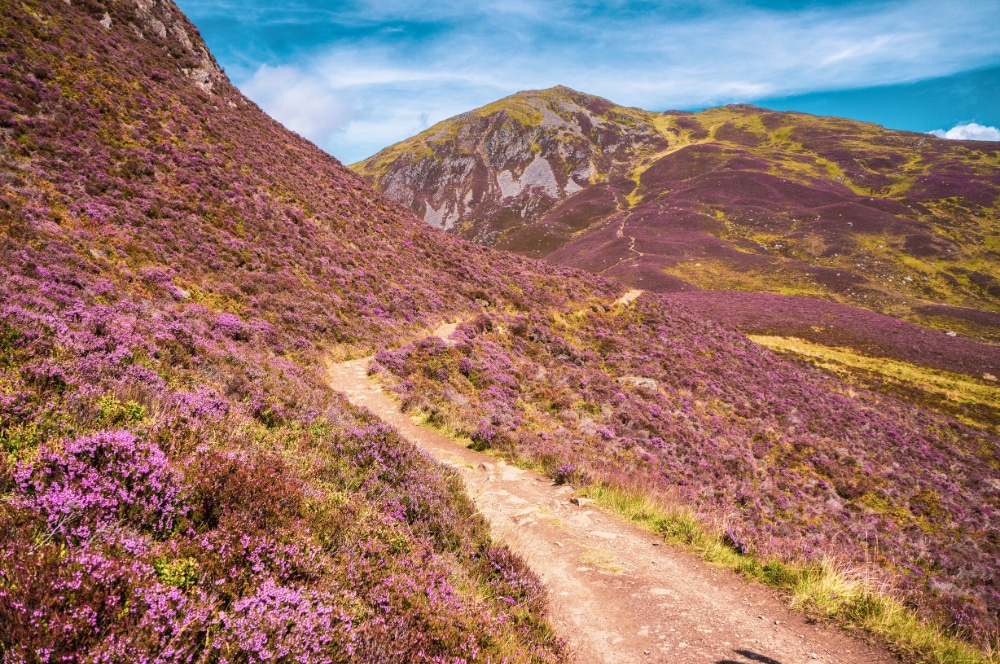 A purple field of heather on the hills with a path snaking through