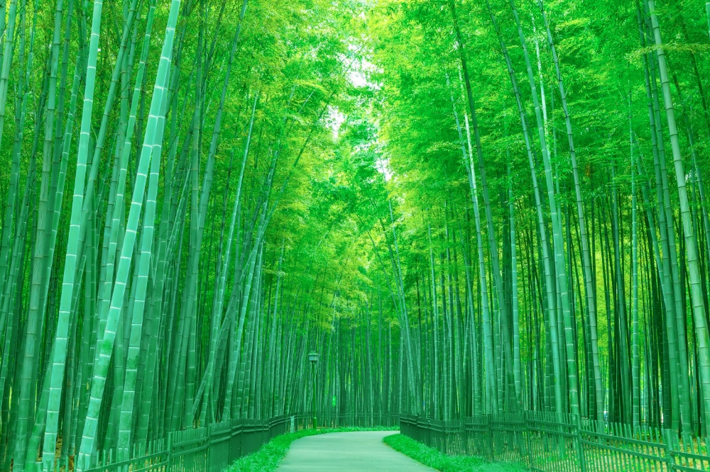 A bamboo forest in Japan with a path