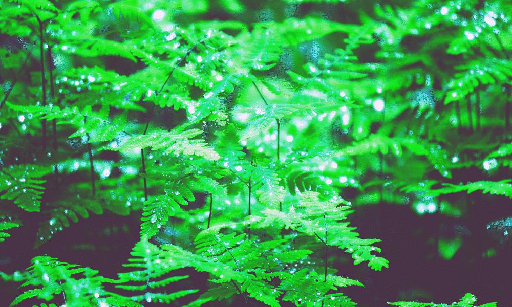 Rain droplets on ferns in a woodland